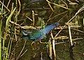 Purple Gallinule (Porphyrio martinicus) (31747248606).jpg