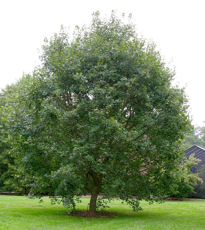 file purpleblow maple acer truncatum tree. Black Bedroom Furniture Sets. Home Design Ideas