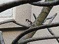 Pycnonotus jocosus (13399641924).jpg