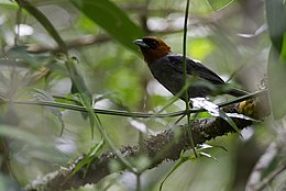 Pyrrhocoma ruficeps Chestnut-headed Tanager.jpg