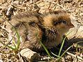 Quail chick 02.jpg