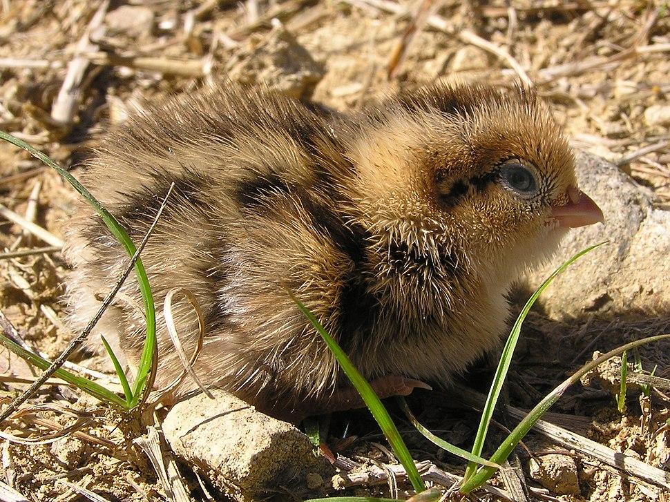 Quail chick 02