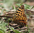 Queen of Spain Fritillary (Issoria lathonia) I IMG 7028.jpg