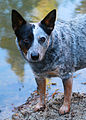 Queensland heeler - Public Domain.jpg
