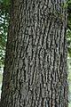 Quercus macrocarpa (23565091203).jpg