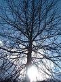 Quercus palustris.jpg