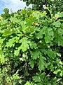 Quercus pubescens, Fagaceae 05.jpg