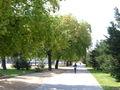 Quercus pubescens align.jpg