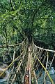 ROOT BRIDGE.jpg