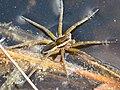 Raft Spider (42189701132).jpg