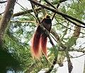 Raggiana Bird of Paradise - Raggiana Bird of Paradise - Paradisaea raggiana (48610481443).jpg
