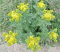 Ragwort (Jacobaea vulgaris) at Stevenston.JPG