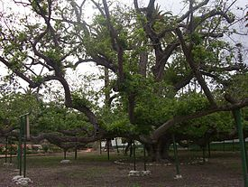 Rancho Camulos black walnut.jpg