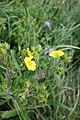 Ranunculus acris, Ranunculaceae 02.jpg