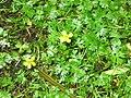 Ranunculus gmelinii 9-eheep (5097364269).jpg
