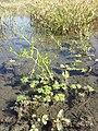 Ranunculus sceleratus sl39.jpg