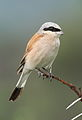 Red-backed shrike, Lanius collurio at at Pilanesberg National Park, Northwest Province, South Africa male (17020858091).jpg