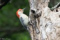 Red-bellied Woodpecker Sabine Woods TX 2018-04-05 11-13-38 (40756896124).jpg
