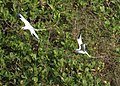 Red-billed Tropicbirds (5535468509).jpg
