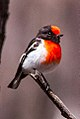 Red-capped Robin (Petroica goodenovii) (8079688020).jpg