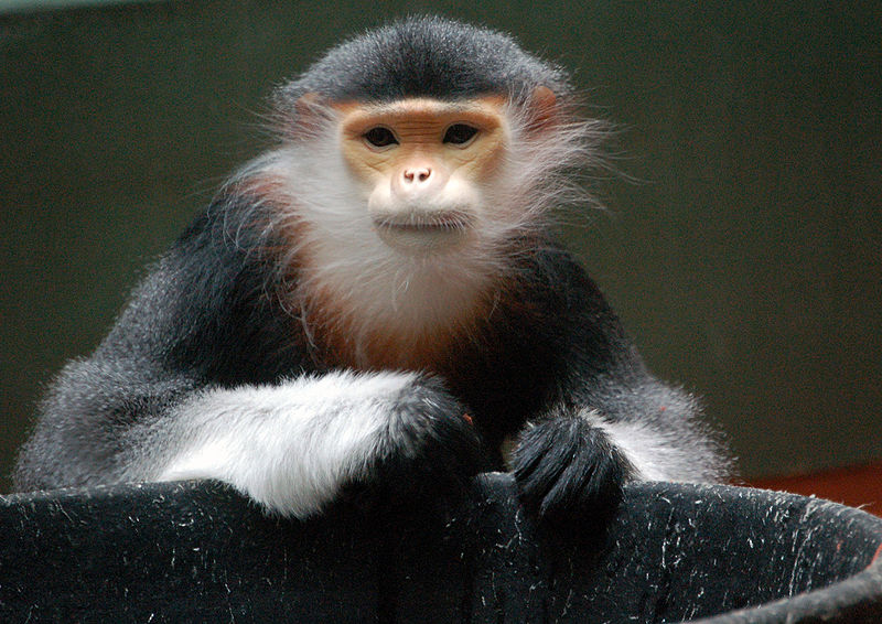 File:Red-shanked Douc at the Philadelphia  Zoo.jpg