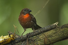 Red-throated Ant-Tanager - Sarapiqui - Costa Rica S4E0445 (26093316173).jpg