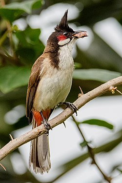 Red-whiskered bulbul by Creepanta 11.jpg