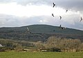 Red Kites Feeding - geograph.org.uk - 322004.jpg