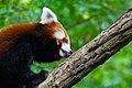 Red Panda (23648078478).jpg
