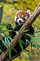 Red Panda (24677199438).jpg