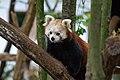 Red Panda (26773162519).jpg