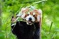 Red Panda (26961697637).jpg