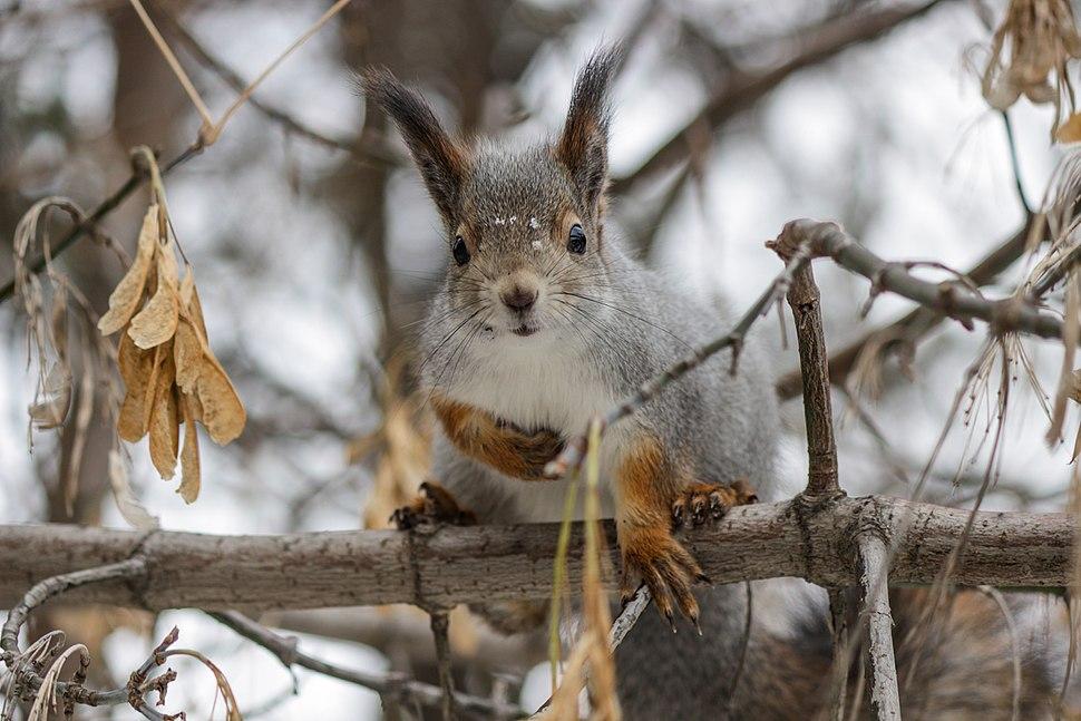 Red Squirrel Urals