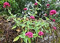 Red Valerian (centranthus ruber) plant on wall, North Queensferry, Fife.jpg