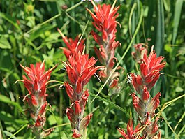 Red paintbrush Castilleja miniata close.jpg