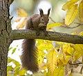 Red squirrel (43583552630).jpg