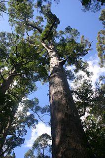 <i>Eucalyptus jacksonii</i> Species of eucalyptus