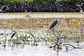 Reddish Egret & Tricolored Heron, No Name Key, Florida (19189401871).jpg