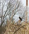 Redwing Blackbird (4426043099).jpg