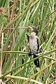 Reed cormorant - Lake Mutanda, Kisoro, Uganda (2).jpg