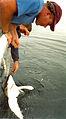 Researcher catching shark 2.jpg