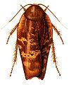 Rhabdoblatta terranea.jpg