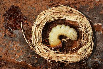 Rhagium inquisitor larva (31942119745).jpg