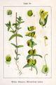 Rhinanthus minor Sturm56.jpg