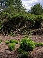 Rhododendron, East Ramsdown - geograph.org.uk - 510329.jpg