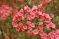Rhododendron 'Blaauw's Pink' Flowers.jpg