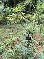 Rhododendron annae - Kunming Botanical Garden - DSC02824.JPG