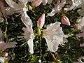 Rhododendron schlippenbachii 2019-04-20 1688.jpg