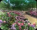 Rhododendrons-Golden Gate Park-San Francisco, California (3654965997).jpg