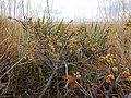 Rhus aromatica - fragrant (skunkbush) sumac - Flickr - Matt Lavin (1).jpg